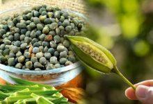 Photo of Okra Seed