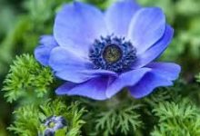 Photo of Blue Anemone Oil